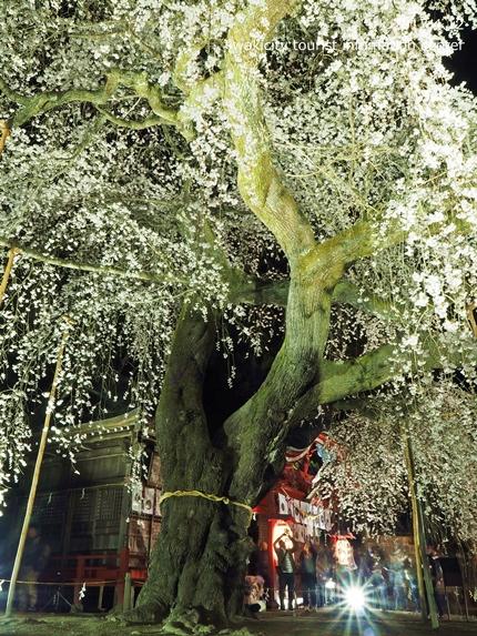 小川諏訪神社のシダレザクラ ライトアップ![平成29年4月12日(水)更新]6