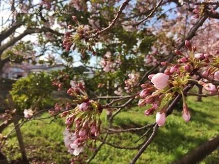 《いわき市桜開花情報》鹿島千本桜 [平成29年4月12日(水)更新]tags[福島県]
