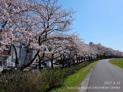 夏井川沿いのソメイヨシノ[平成29年4月13日(木)更新]6