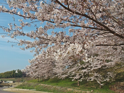 21世紀の森公園の桜 [平成29年4月16日(日)開催]6