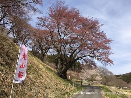 新田の大山桜 [平成29年4月27日(木)更新]5