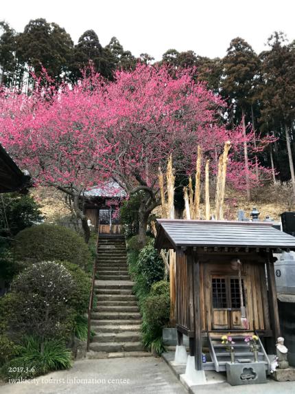 梅林寺のウメ [平成29年3月6日(月)更新]6