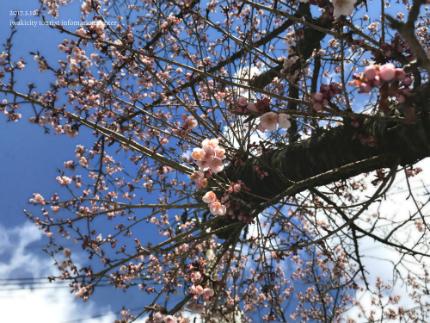 国宝白水阿弥陀堂のヒガンザクラ [平成29年3月10日(金)更新]6
