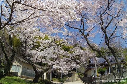 《桜開花状況》四倉地区の桜 [平成29年4月16日(日)更新]13