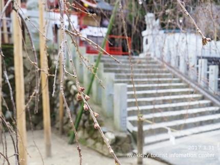 小川諏訪神社のシダレザクラ [平成29年3月31日(金)更新]7