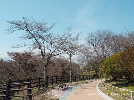 松ヶ岡公園のソメイヨシノ [平成29年4月3日(月)更新]7