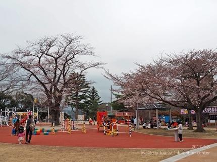 松ヶ岡公園のソメイヨシノ [平成29年4月8日(土)更新]7