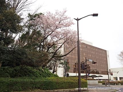 新川沿い・平中央公園のソメイヨシノ [平成29年4月10日(月)更新]7