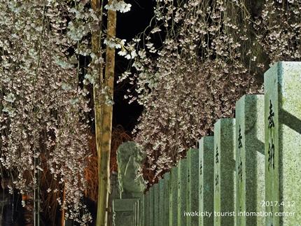 小川諏訪神社のシダレザクラ ライトアップ![平成29年4月12日(水)更新]7