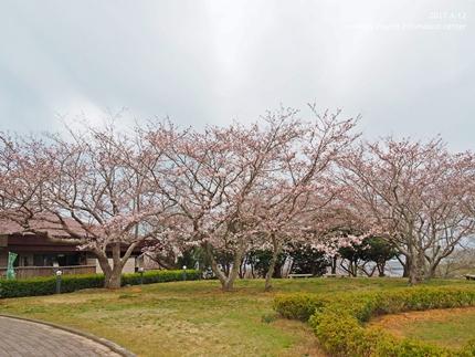 三崎公園のソメイヨシノ [平成29年4月12日(水)更新]7