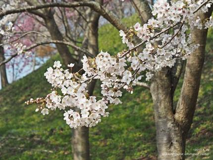 21世紀の森公園の桜 [平成29年4月16日(日)開催]7