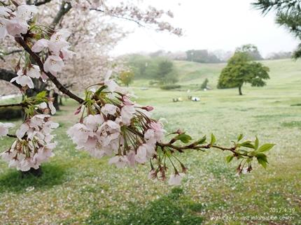 《いわき市桜開花情報》三崎公園のソメイヨシノ [平成29年4月19日(水)更新]7