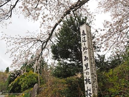 田人の石割桜が満開となりました! [平成29年4月22日(土)更新]3