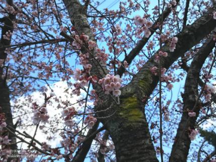 国宝白水阿弥陀堂のヒガンザクラ [平成29年3月10日(金)更新]7