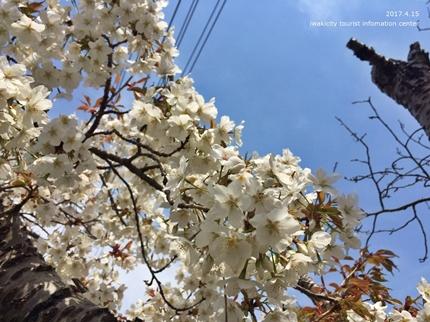 県立いわき公園の桜 [平成29年4月15日(土)開催]7