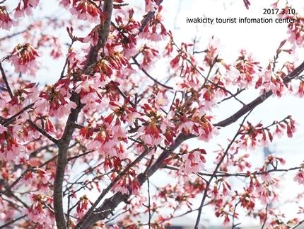 新川沿いのチョウベエザクラ [平成29年3月17日(金)更新]8