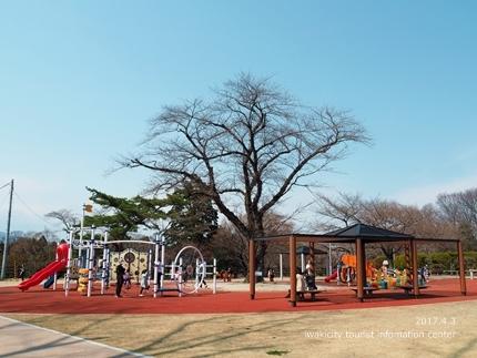 松ヶ岡公園のソメイヨシノ [平成29年4月3日(月)更新]8