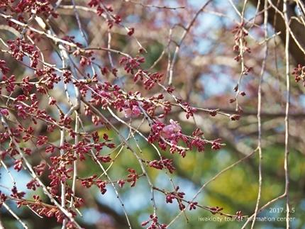三島八幡神社のシダレザクラ [平成29年4月5日(水)更新]8