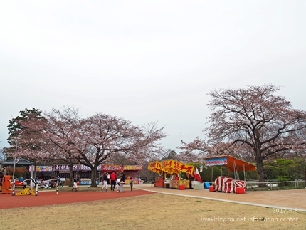 松ヶ岡公園のソメイヨシノ [平成29年4月8日(土)更新]8