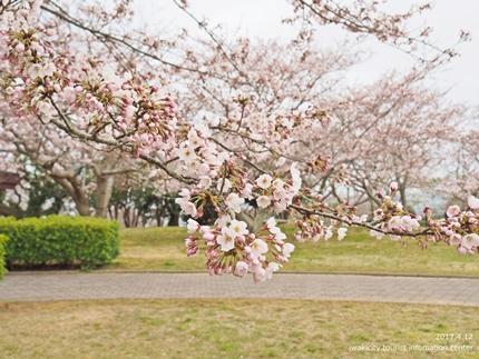 三崎公園のソメイヨシノ [平成29年4月12日(水)更新]8