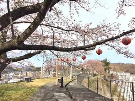 御幸山公園・観音山公園のソメイヨシノ [平成29年4月12日(水)更新]8