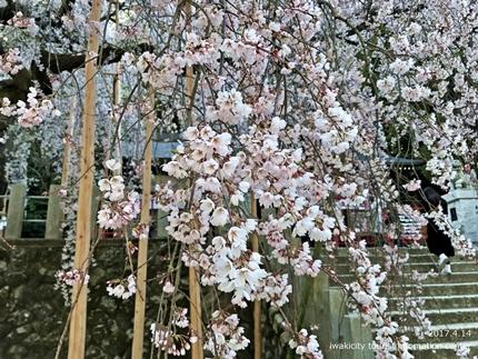 小川諏訪神社のシダレザクラ ライトアップ![平成29年4月14日(金)更新]8