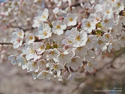 21世紀の森公園の桜 [平成29年4月16日(日)開催]8