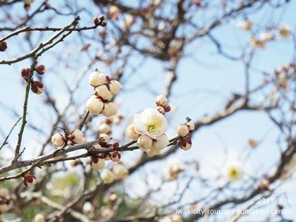 常勝院 八房の梅 [平成29年3月18日(土)更新]9