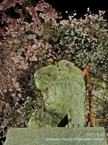 小川諏訪神社のシダレザクラ ライトアップ![平成29年4月12日(水)更新]9