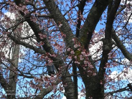 国宝白水阿弥陀堂のヒガンザクラ [平成29年3月10日(金)更新]9