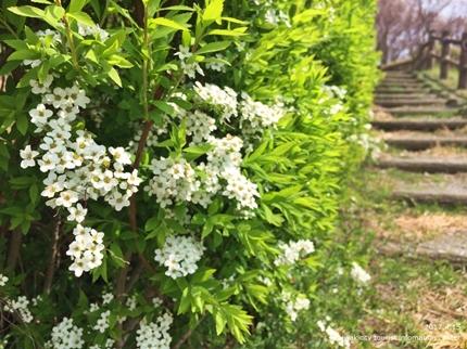 県立いわき公園の桜 [平成29年4月15日(土)開催]9