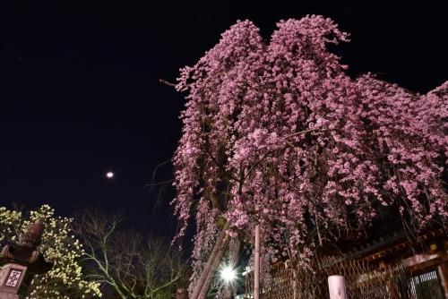氷室桜モクレン