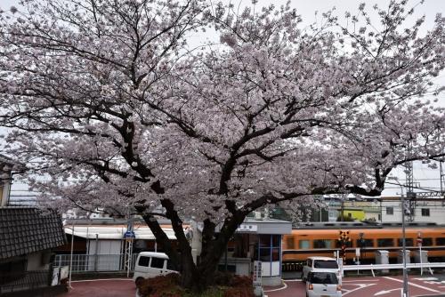 額田一本桜