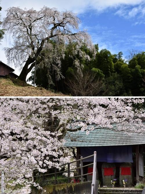 ⑦八講櫻辻堂桜