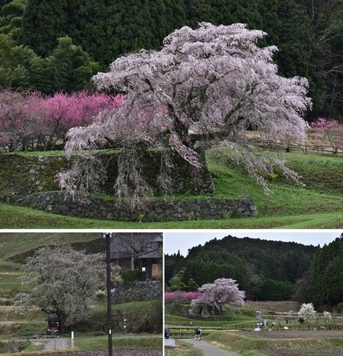 ⑤又兵衛桜地蔵桜