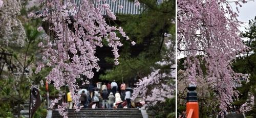 ②長谷寺桜
