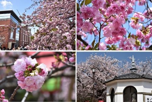②造幣局桜