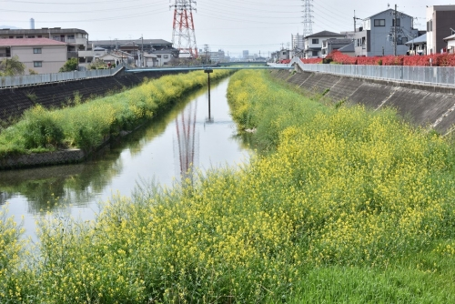 ①菜の花川