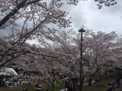 2017の桜3藤原山