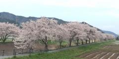 2017の桜4