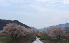 2017の桜3