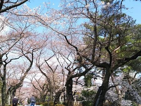 2017-04-03 青山墓地-crop