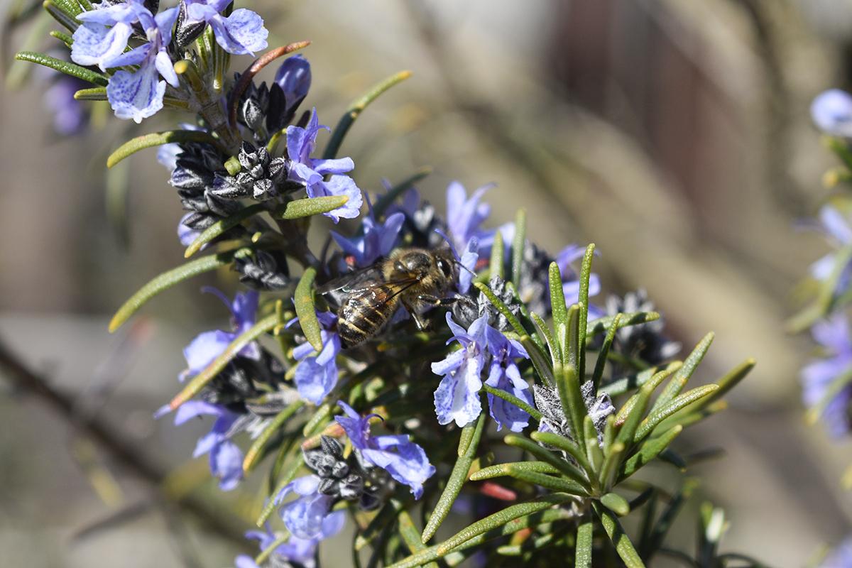ローズマリーと蜂