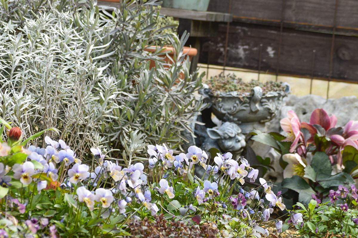 花がたくさんさきはじめたビオラとクリスマスローズ