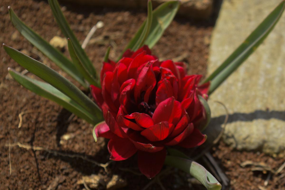 咲いたチューリップ