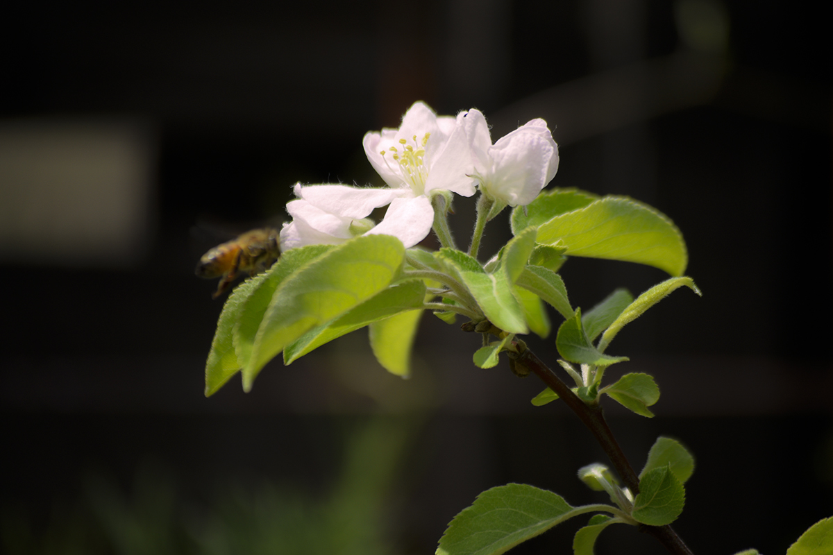 姫リンゴ 開花