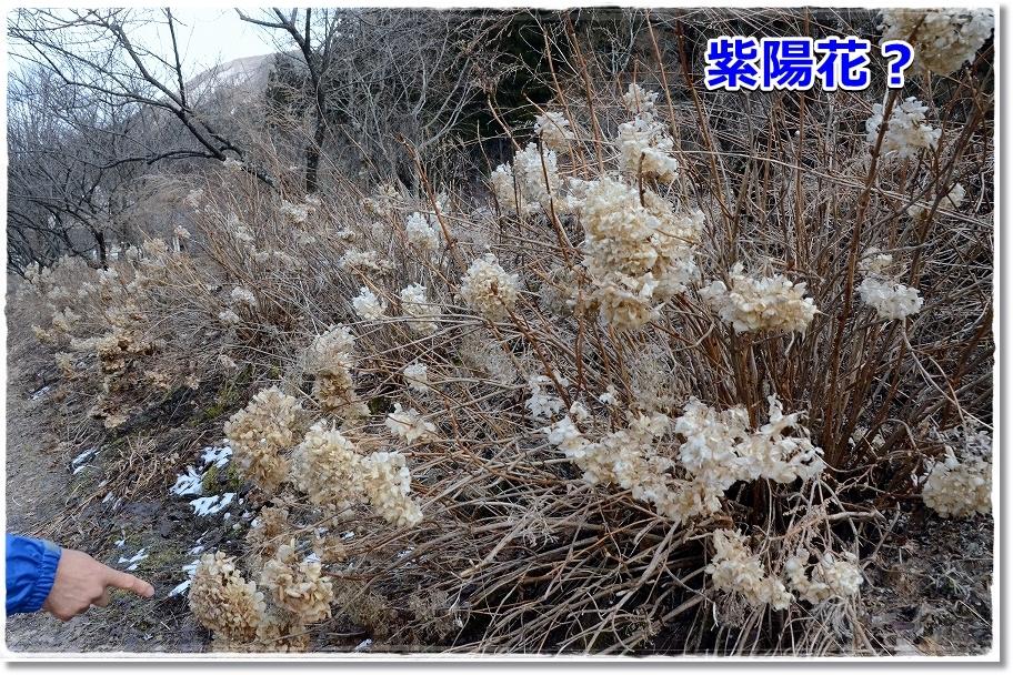 DSC_2733紫陽花のミイラ?