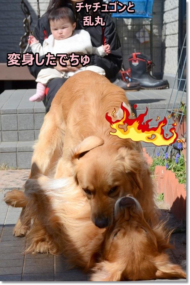 DSC_2100 ちゃちゅごんと乱丸 変身