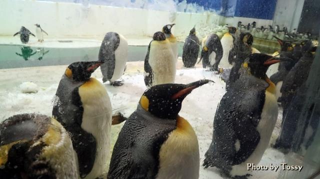 王様ペンギン