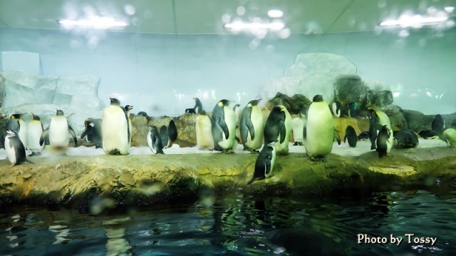 海獣館 皇帝ペンギン キングペンギン
